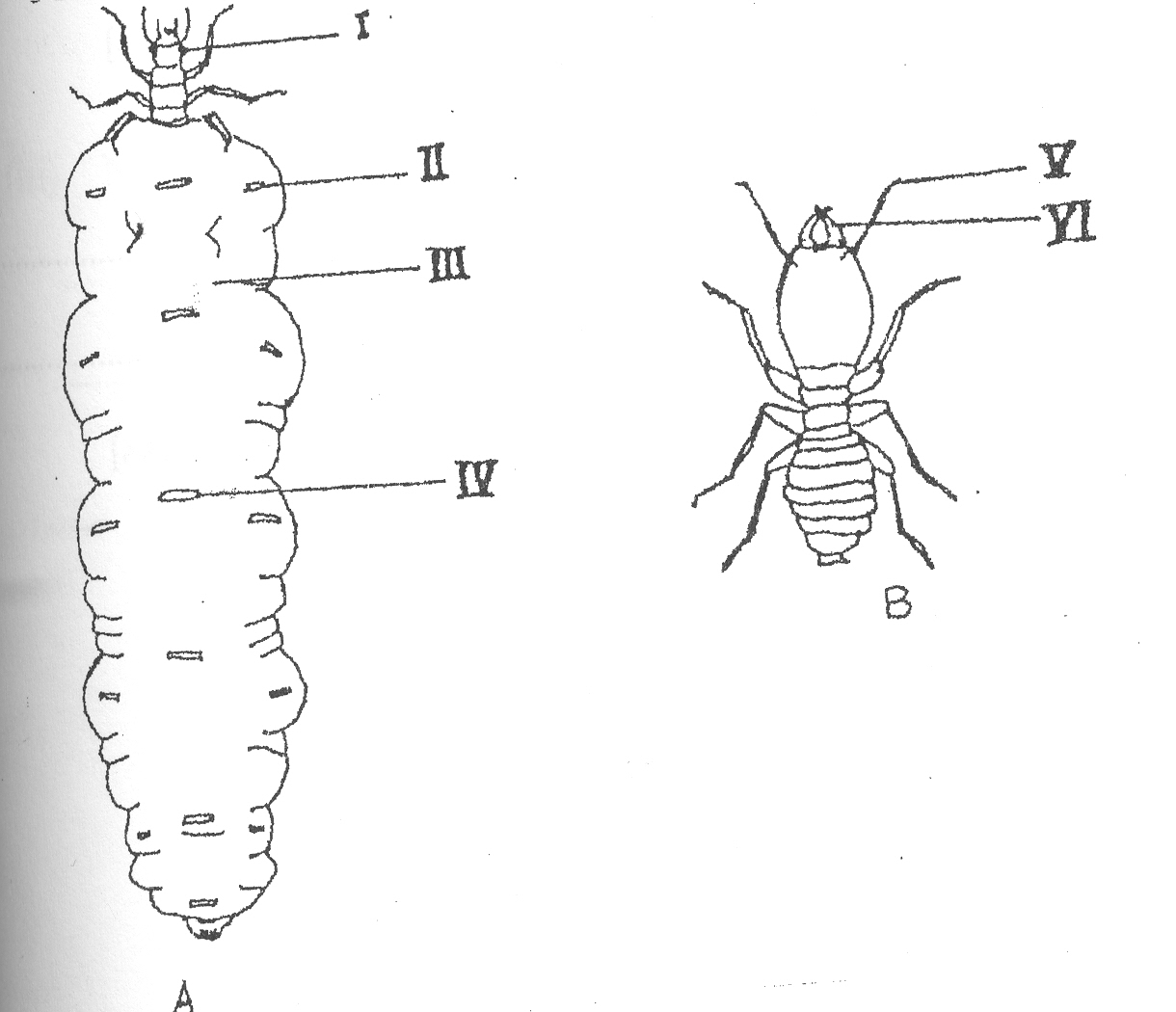 Termite queen anatomy - crazywidow.info